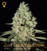 Greenhouse Super Critical Feminized 5 Ganja Seeds